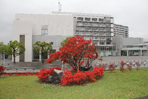 ②霧島市役所お祭り広場前開花状況(H29.4.17撮影)