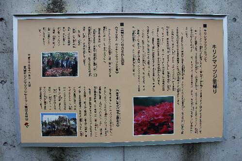 ⑤霧島市役所お祭り広場前開花状況(H29.4.17撮影)